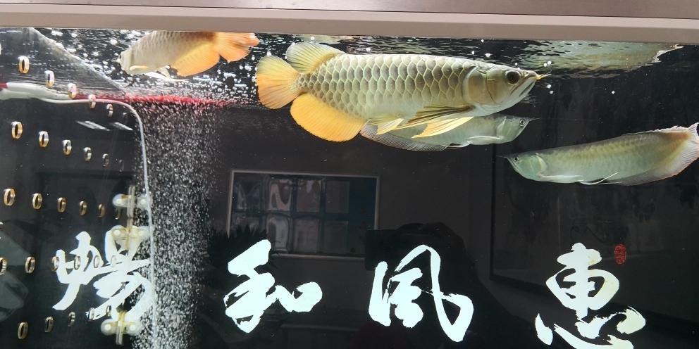 混养不易(脾气怪只能一条陪伴) 杭州龙鱼论坛 杭州龙鱼第4张