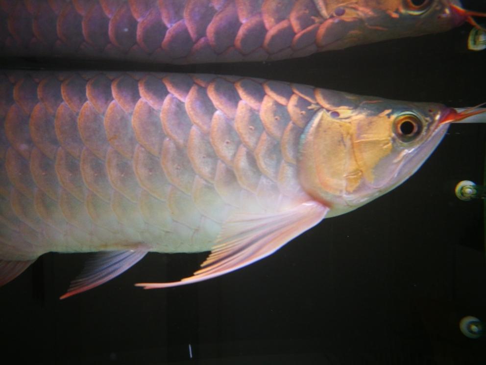 入缸三个多月龙鱼 营口观赏鱼 营口龙鱼第2张