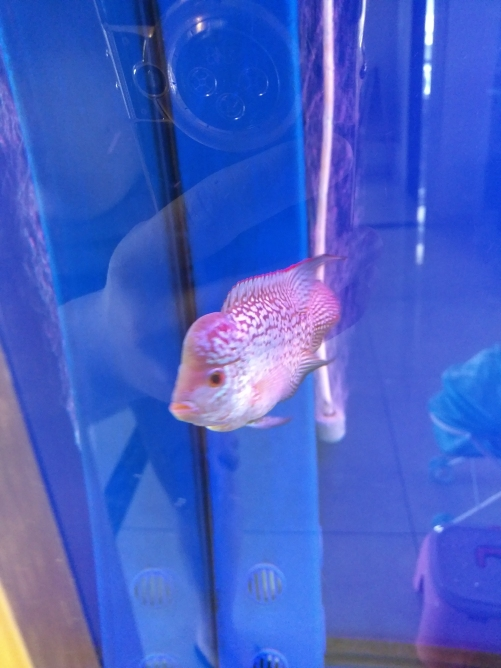 请各位鱼友看看品质 乌鲁木齐龙鱼论坛 乌鲁木齐龙鱼第7张