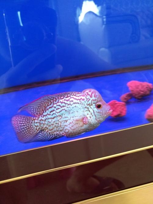 请各位鱼友看看品质 乌鲁木齐龙鱼论坛 乌鲁木齐龙鱼第1张