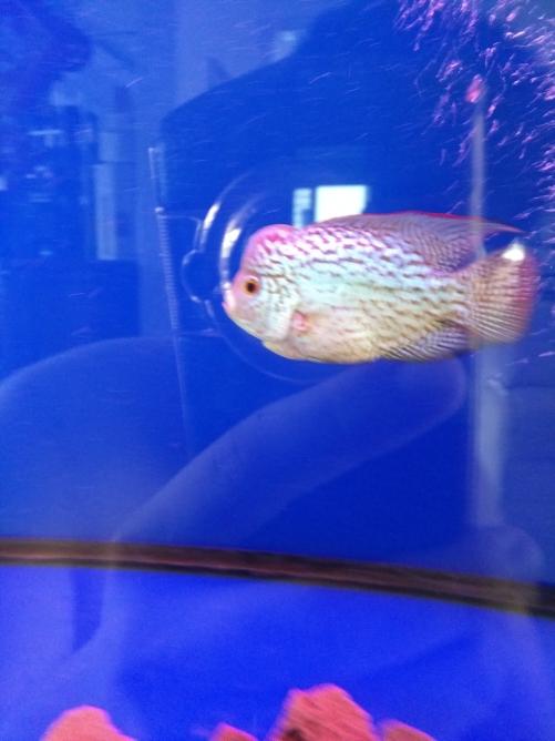 请各位鱼友看看品质 乌鲁木齐龙鱼论坛 乌鲁木齐龙鱼第2张