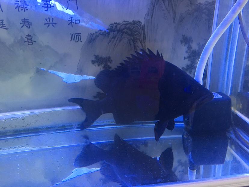 鞍山水族箱造景水草虎鱼这么黑怎么办养一年多了25厘米 鞍山水族批发市场 鞍山龙鱼第1张