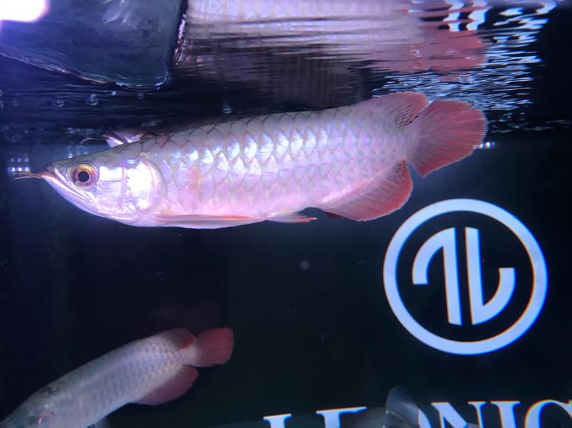 鱼尾巴长疙瘩兰州细线银板鱼粗线黑桃是什么病?下了盐巴 兰州龙鱼论坛 兰州龙鱼第6张