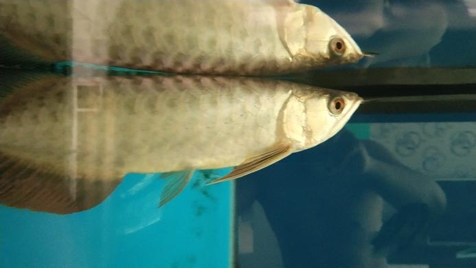 长沙市水族馆新入手的小金头 长沙龙鱼论坛 长沙龙鱼第1张