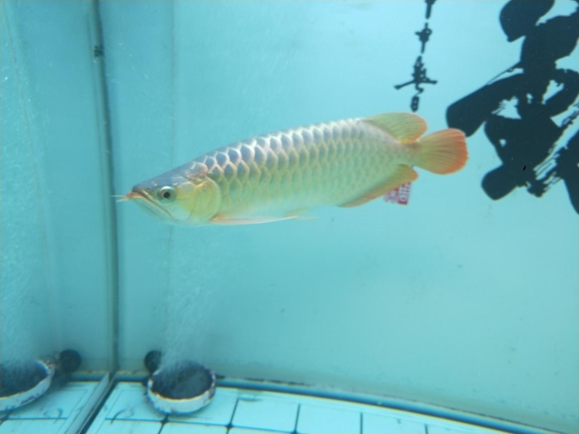 过背金头小红龙35公分虎 长沙观赏鱼 长沙龙鱼第7张