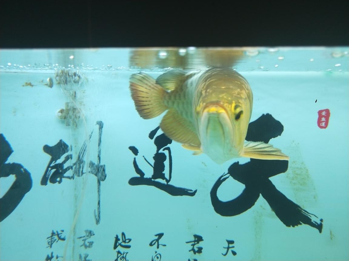过背金头小红龙35公分虎 长沙观赏鱼 长沙龙鱼第2张
