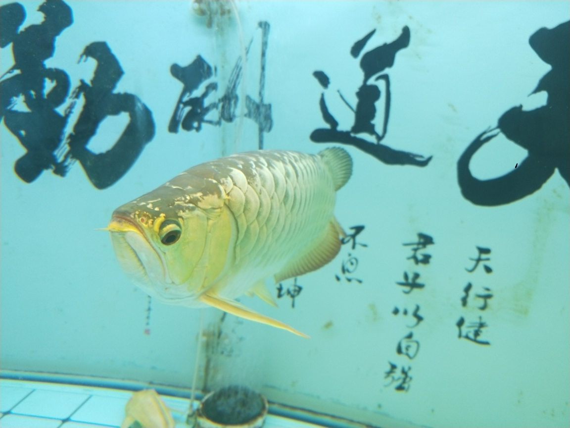过背金头小红龙35公分虎 长沙观赏鱼 长沙龙鱼第5张