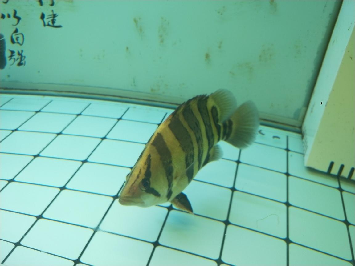 过背金头小红龙35公分虎 长沙观赏鱼 长沙龙鱼第3张