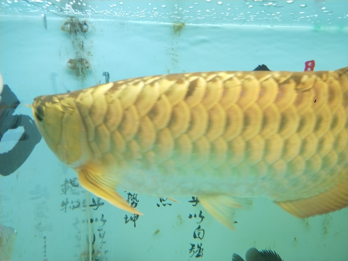 过背金头小红龙35公分虎 长沙观赏鱼 长沙龙鱼第1张