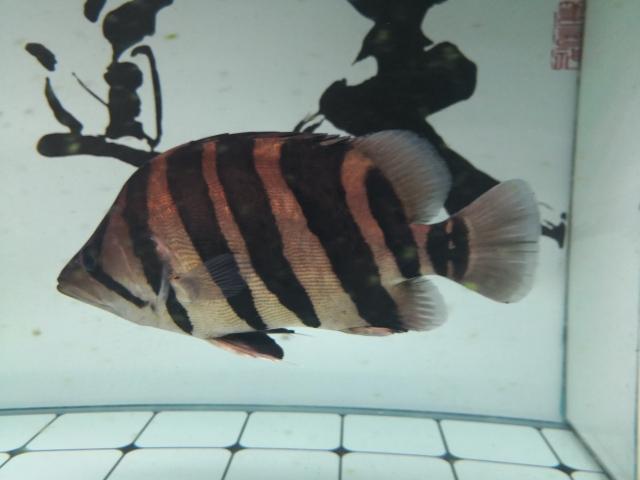 小老虎天津鱼友圈 长沙观赏鱼 长沙龙鱼第1张