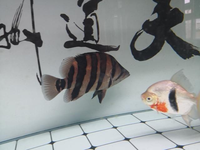 小老虎天津鱼友圈 长沙观赏鱼 长沙龙鱼第2张