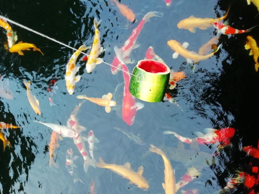 锦鲤的艳遇天然的色素 石家庄龙鱼论坛 石家庄龙鱼第6张