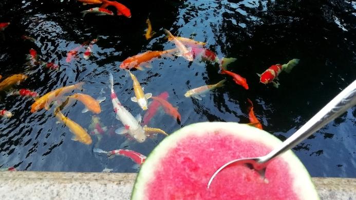 锦鲤的艳遇天然的色素 石家庄龙鱼论坛 石家庄龙鱼第3张