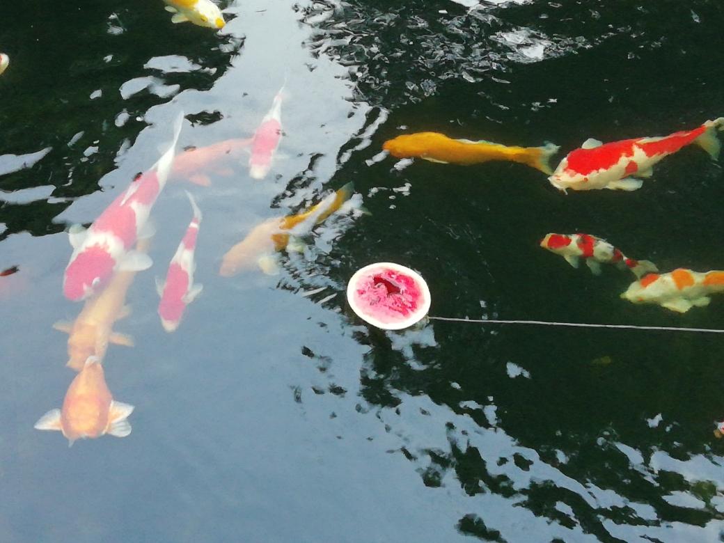 锦鲤的艳遇天然的色素 石家庄龙鱼论坛 石家庄龙鱼第9张