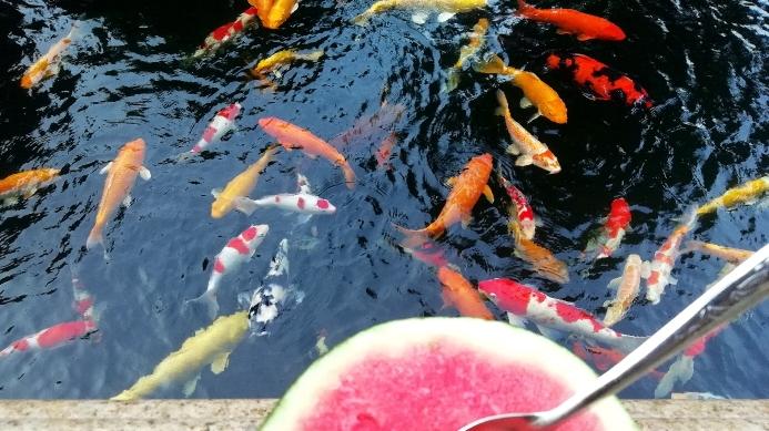 锦鲤的艳遇天然的色素 石家庄龙鱼论坛 石家庄龙鱼第2张