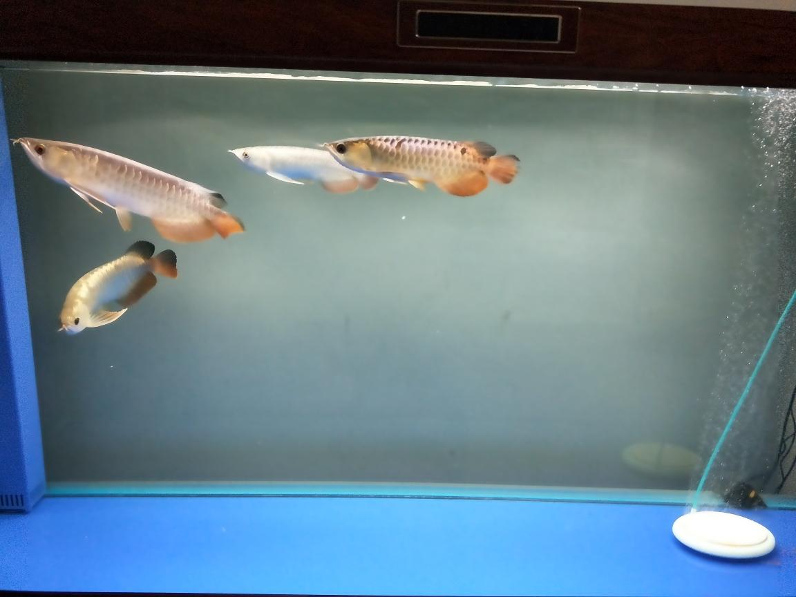 晒一晒我的上海飞凤苗爱鱼吧 上海龙鱼论坛 上海龙鱼第5张