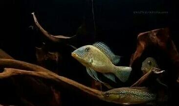 南美原生态缸这些神兽可撩 重庆观赏鱼 重庆水族批发市场第6张