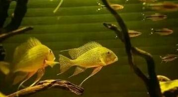 南美原生态缸这些神兽可撩 重庆观赏鱼 重庆水族批发市场第7张