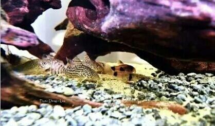 南美原生态缸这些神兽可撩 重庆观赏鱼 重庆水族批发市场第8张