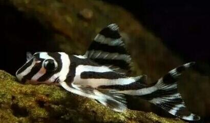 南美原生态缸这些神兽可撩 重庆观赏鱼 重庆水族批发市场第12张