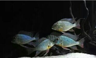 南美原生态缸这些神兽可撩 重庆观赏鱼 重庆水族批发市场第2张