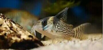 南美原生态缸这些神兽可撩 重庆观赏鱼 重庆水族批发市场第9张