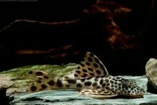 南美原生态缸这些神兽可撩 重庆观赏鱼 重庆水族批发市场第15张
