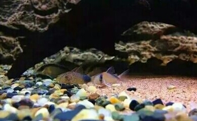 南美原生态缸这些神兽可撩 重庆观赏鱼 重庆水族批发市场第11张