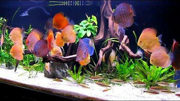 南美原生态缸这些神兽可撩 重庆观赏鱼 重庆水族批发市场第22张