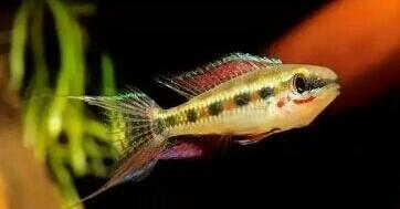 南美原生态缸这些神兽可撩 重庆观赏鱼 重庆水族批发市场第24张