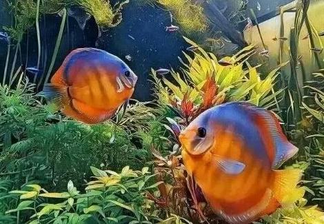 南美原生态缸这些神兽可撩 重庆观赏鱼 重庆水族批发市场第19张