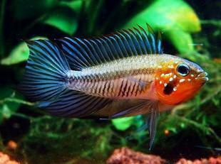 南美原生态缸这些神兽可撩 重庆观赏鱼 重庆水族批发市场第26张
