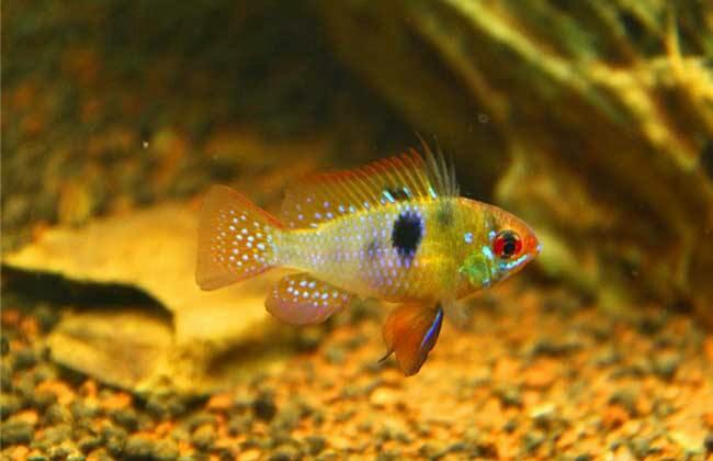 南美原生态缸这些神兽可撩 重庆观赏鱼 重庆水族批发市场第25张