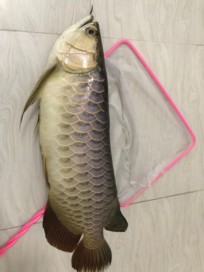 龙鱼走了养了三年多了吧鳃虫 烟台龙鱼论坛 烟台龙鱼第4张