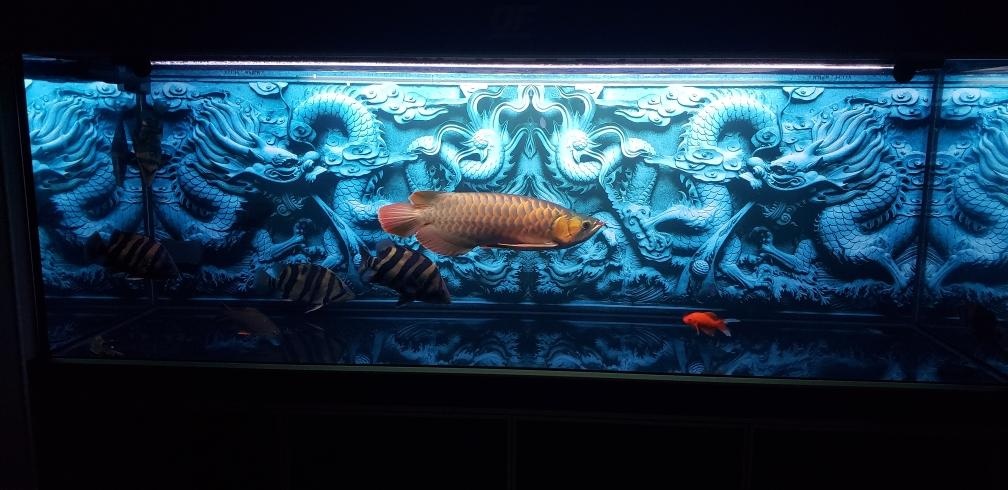 没状态龙鱼 太原观赏鱼 太原龙鱼第3张