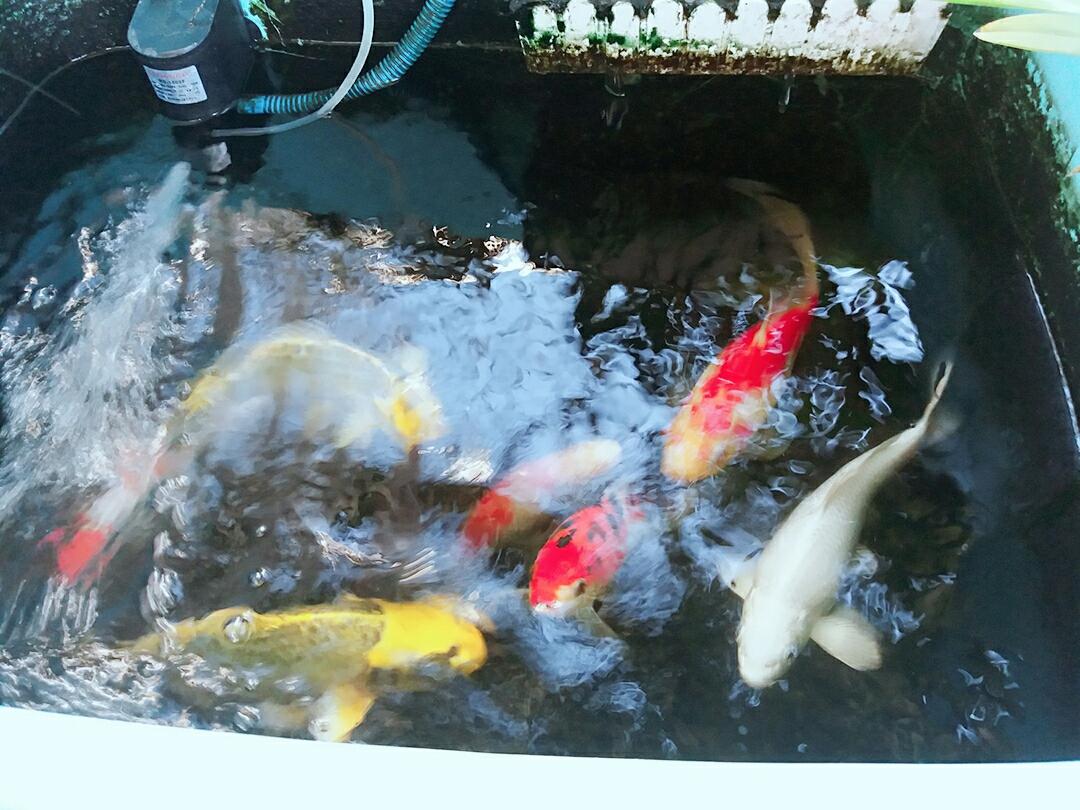 青岛玫瑰银版鱼天气炎热下班回家第一件事给鱼换水 青岛水族批发市场 青岛龙鱼第3张