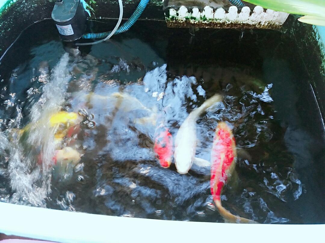 青岛玫瑰银版鱼天气炎热下班回家第一件事给鱼换水 青岛水族批发市场 青岛龙鱼第1张