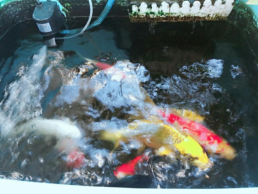 青岛玫瑰银版鱼天气炎热下班回家第一件事给鱼换水 青岛水族批发市场 青岛龙鱼第2张