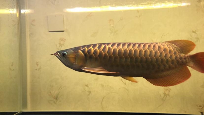 大家看看我这龙 西安龙鱼论坛 西安博特第1张