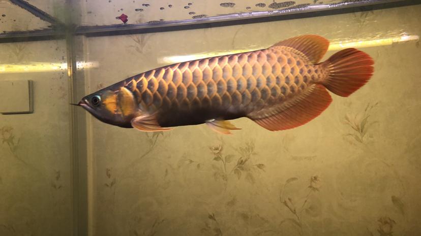 大家看看我这龙 西安龙鱼论坛 西安博特第2张