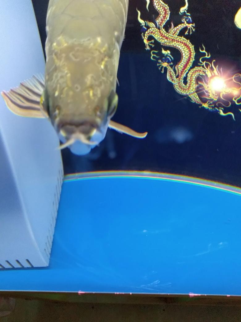 昆明东易水族大神帮忙看下头上像地图似的怎么回事 昆明龙鱼论坛 昆明龙鱼第1张