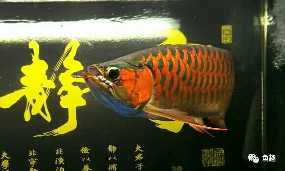 龙鱼零食只有想不到没有不能喂的 福州观赏鱼 福州龙鱼第9张