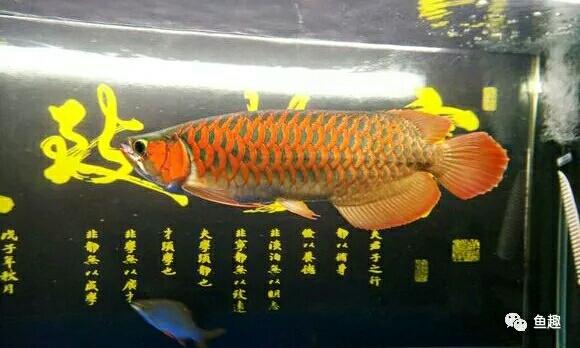 龙鱼零食只有想不到没有不能喂的 福州观赏鱼 福州龙鱼第8张