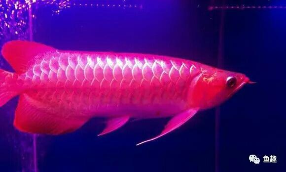龙鱼零食只有想不到没有不能喂的 福州观赏鱼 福州龙鱼第3张