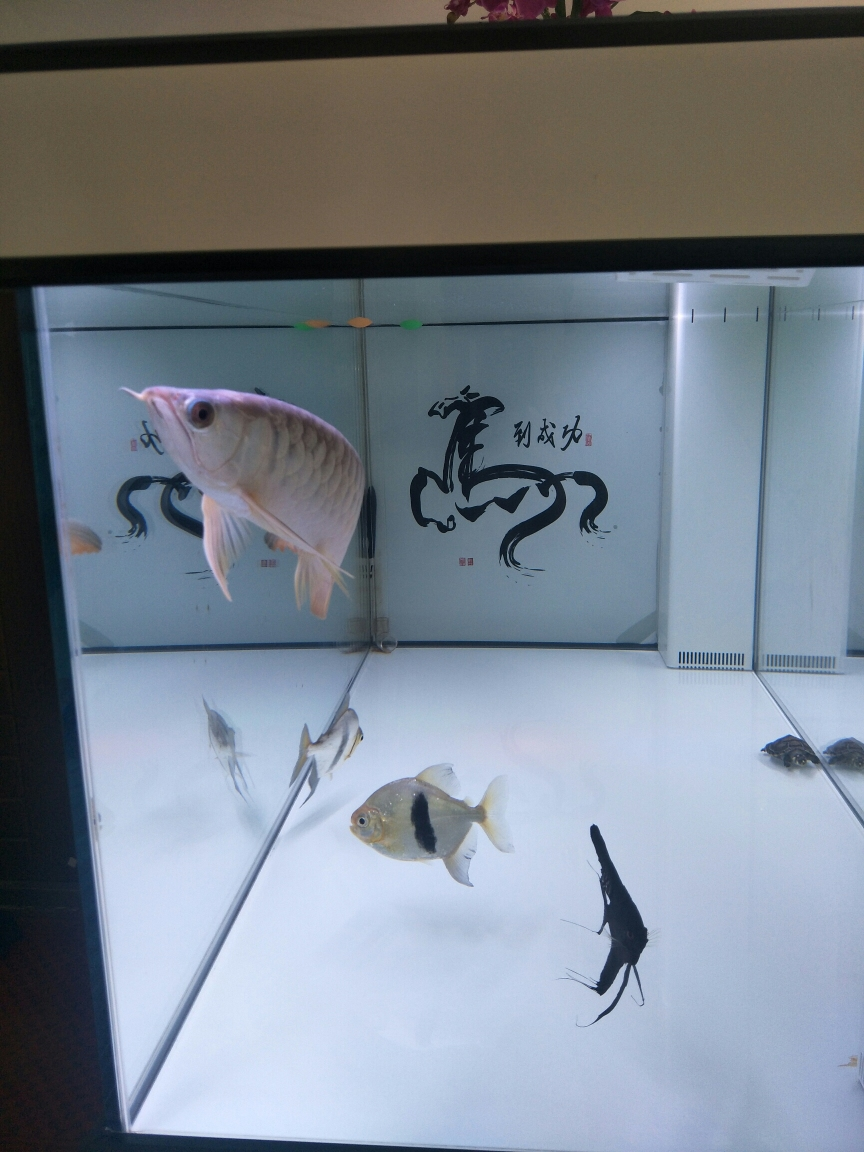 你你牛什么牛龙鱼 上海水族批发市场 上海龙鱼第1张