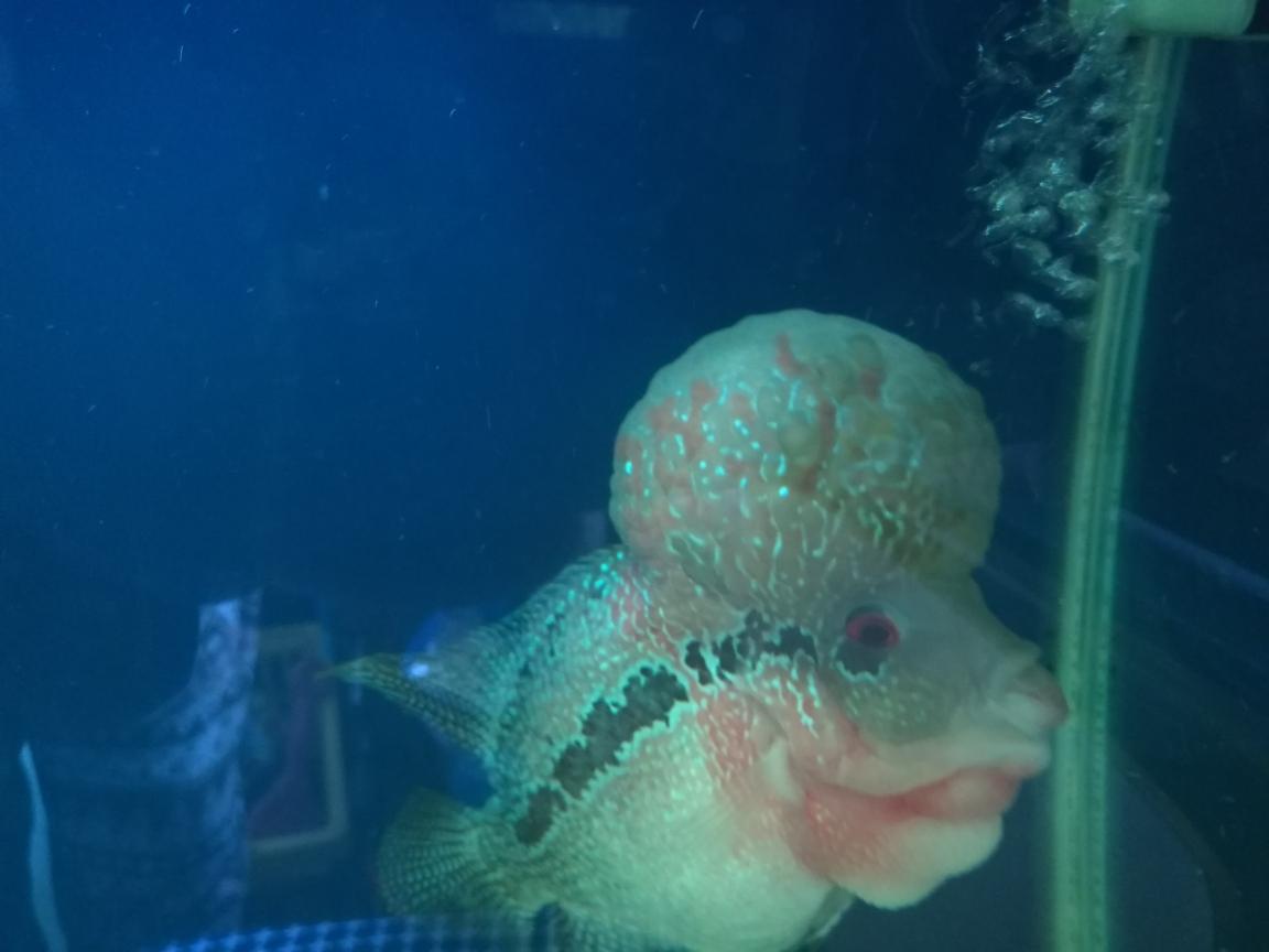 罗汉鱼头起水泡 渭南水族批发市场 渭南龙鱼第1张