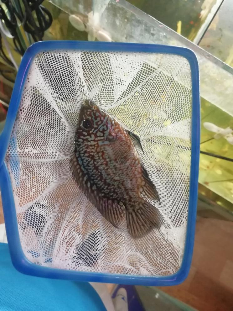 红德萨品相还可以吧贵阳哪里有鱼缸卖 贵阳龙鱼论坛 贵阳龙鱼第4张