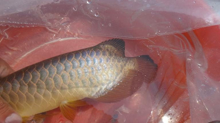 新请的小龙很喜欢的一条 营口观赏鱼 营口龙鱼第4张