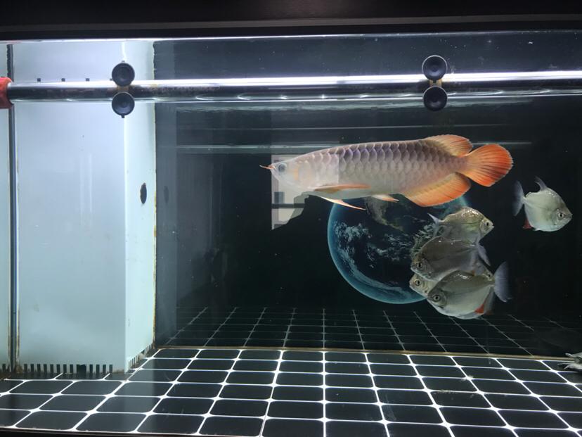 小龙成长日记每月更新一次第八次 宁波观赏鱼 宁波龙鱼第2张