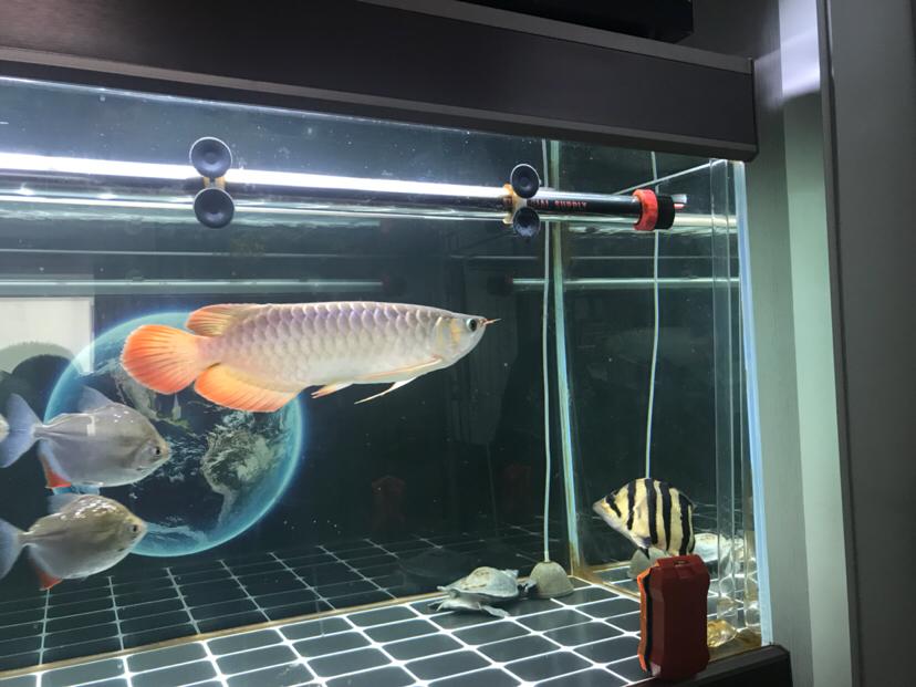 小龙成长日记每月更新一次第八次 宁波观赏鱼 宁波龙鱼第3张